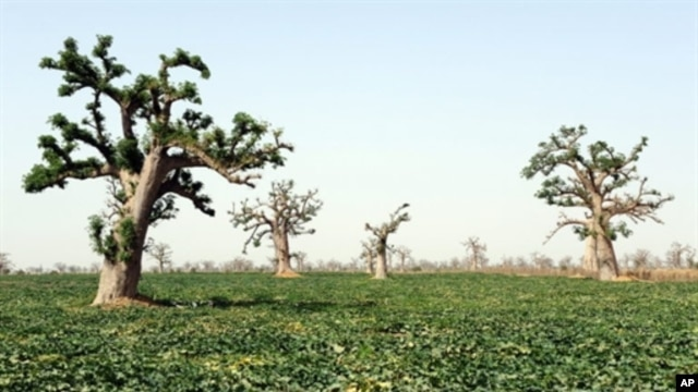 A melon field is pictured at a farm in the village of Djilakh, 80km south of Dakar, Senegal on 22 Apr 2008 (file photo)