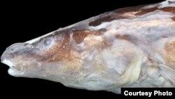 남미 가이아나 마자루니강에서 발견된 신종 물고기 '아카와이오 페넥'.