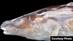 Ikan Akawaio penak (Foto: Nathan Lujan)
