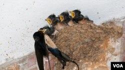 Laste (Foto: Društvo za zaštitu i proučavanje ptica Srbije, www.pticesrbije.rs)