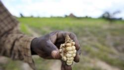 São Tomé e Príncipe: Controlada praga do milho