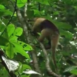 An anteater climbs a tree on Barro Colorado Island in Panama.