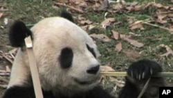 Tai Shan, the giant panda who became an overnight sensation when he was born at at the National Zoo in Washington DC in 2005 will be shipped to China on February 4 (file photo)