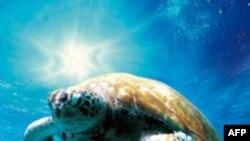 Rùa biển bơi xa nhiều năm trước khi trở về nơi sinh
