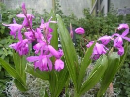 The Bletilla Striata or the Chinese Ground Orchid, is used in Chinese medicine to stop excessive bleeding. (J. Taboh/VOA)