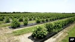 A field of jatropha plants, a source of biofuel (File Photo)