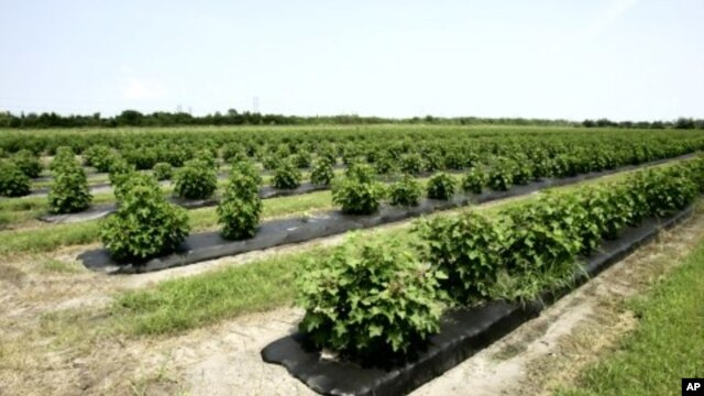 A field of jatropha plants, a source of biofuel (File Photo)