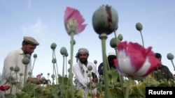 FILE - Afghan farmers work at a poppy field in Jalalabad province, May 5, 2012.