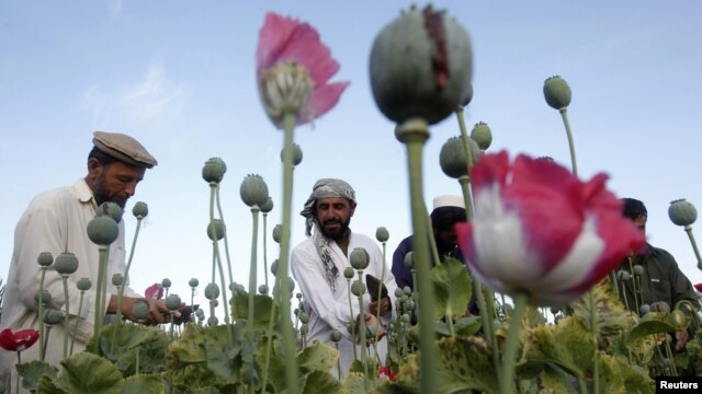 Afghan farmers work at a poppy field in Jalalabad province, May 5, 2012.