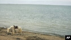 Seekor yak menunggu turis di Danau Tsongon, provinsi Qinghai, China. (Foto: Dok)