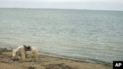FILE - A yak waits for tourists at Qinghai Lake, or Lake Tsongon, in Qinghai province, western China, Sept. 13, 2005. The lake is known for being the largest inland saltwater lake in the country.