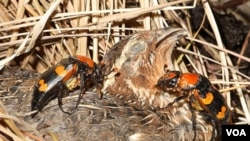 Una pareja de escarabajos de tierra americanos se preparan para enterrar esta ave muerta.