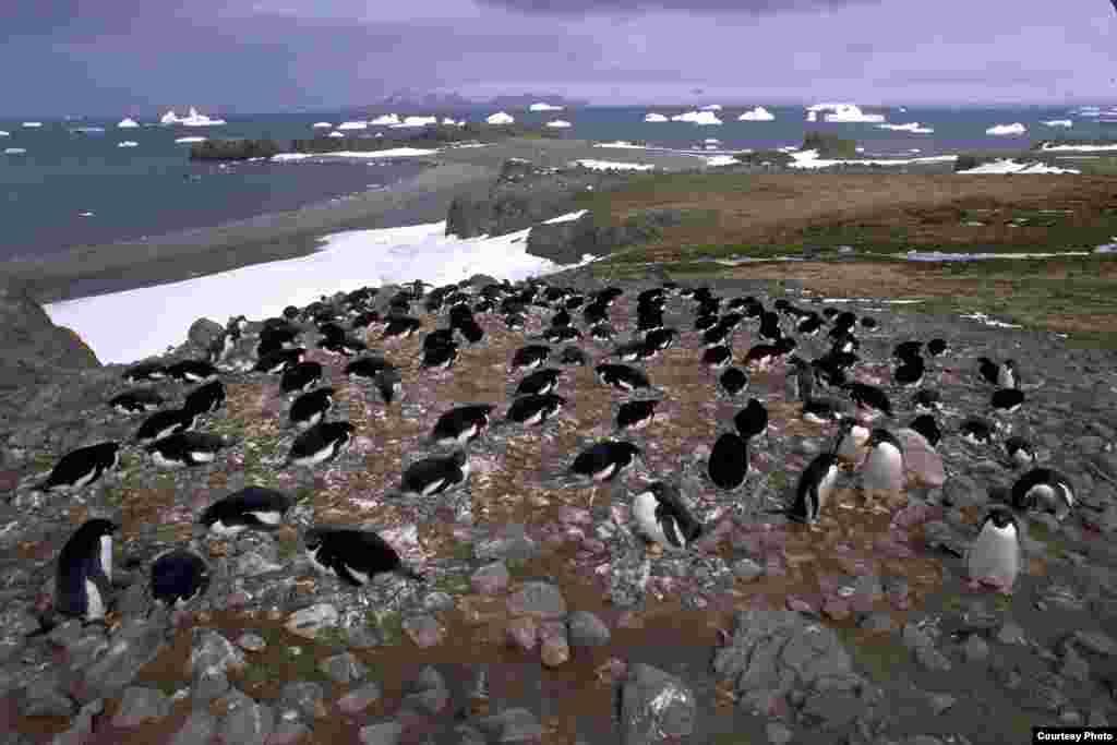 Nesting Adélie penguins, Admiralty Bay. (Ron Naveen/ OCEANITES)