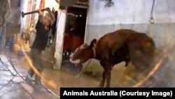 """Giám đốc của tổ chức """"Animals Australia"""" cho biết đoạn video là hình ảnh kinh khủng nhất mà bà từng xem."""