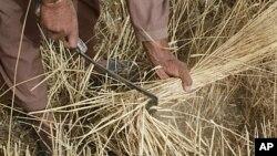 حاصلات گندم در افغانستان افزایش یافته است