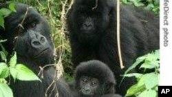 Gorilles de montagne dans le parc des Virunga