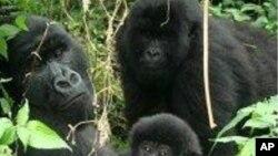 Des gorilles de montagne dans le parc des Virunga