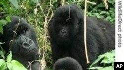 Des gorilles de montagne dans le parc des Virunga, menacé par la déforestation