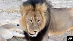 Cecil, salah satu singa kebanggaan Zimbabwe, saat masih hidup di taman nasional Hwange (foto: dok).
