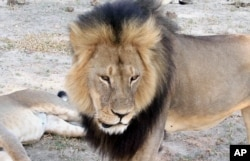 FILE - Cecil, a well-known, protected lion who lived in Zimbabwe's Hwange National Park, is seen, November 2012.