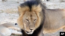 FILE - Cecil, a well-known, protected lion who lived in Zimbabwe's Hwange National Park, is seen in this frame grab taken from a November 2012 video made available by Paula French.