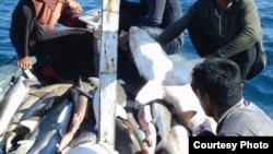 A shark catch aboard a ship (photo courtesy of Vanessa Jaiteh).