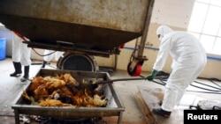 2013年4月16日在广州的一个处理厂卫生工作人员处置未受感染的死鸡。