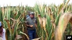 当严重的干旱在美国全国蔓 延开来之际,枯萎的农作物意味着消费者就一些食品 要付出更高的价钱