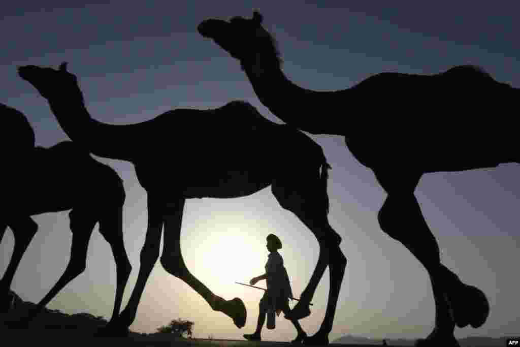 An Indian camel owner walks with his livestock during sunset at the Pushkar Camel Fair in Pushkar in Rajasthan state.