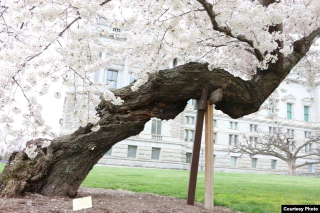 这是日本1912年赠送的第一批樱花树当中的一棵 (美国之音杨晨拍摄)