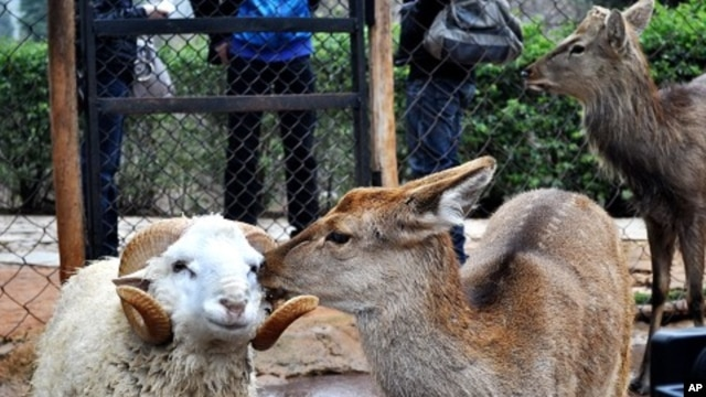 A ram named Changmao who has formed an inseparable bond with a female deer named Chunzi, spend time together at the Yunnan Wild Animal Park in Kunming, Yunnan Province, December 2, 2011