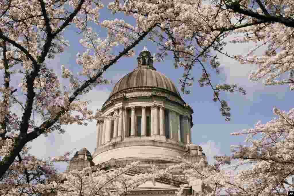 نمایی از کنگره آمریکا از میان شکوفه های گیلاس