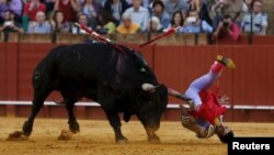 Spanish matador Miguel Angel Delgado is tackled by a bull during a bullfight in Seville, southern Spain.
