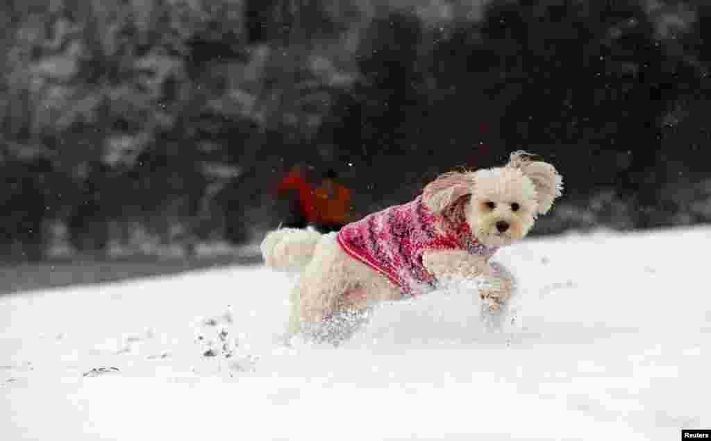برف بازی توله سگ در اسکاتلند