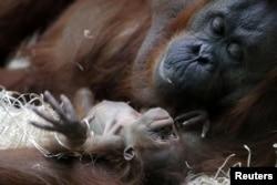 Orangutan khas Kalimantan (bornean orangutan/Pongo pygmaeus) Theodora dan bayinya yang baru lahir, Java, di kebun binatang Jardin des Plantes, Paris, Perancis, 2 Oktober 2018. (Foto: dok).