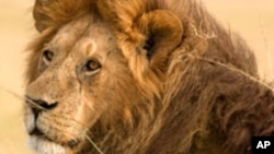 Animals that attract a lot of trophy hunters include lions.