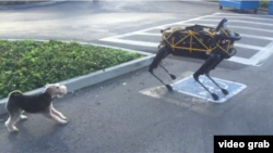Spot, a robot dog, plays with a real life dog, Alex.
