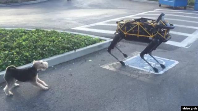 Spot, a robot dog, plays with a real life dog, Alex.