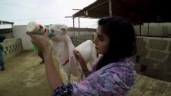 گلابی بکرے پال کر فروخت کرنے والی کراچی کی طالبہ
