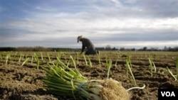 La agricultura podría ser una solución para bajar la alta tasa de desempleo de los afroestadounidenses en EE.UU.