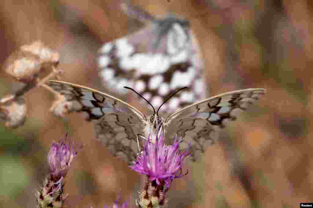 A butterfly is seen on a flower on Mount Hymettus in Athens, Greece.