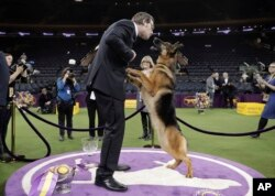 Rumor, a German shepherd, leaps to lick her handler and co-owner Kent Boyles on the face after winning Best in Show at the 141st Westminster Kennel Club Dog Show, early Wednesday, Feb. 15, 2017, in New York.