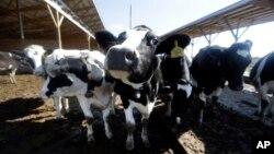 Penggunaan antibiotik pada hewan dapat memicu munculnya bakteri yang resisten terhadap obat, yang dapat menular pada manusia.