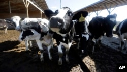The use of antibiotics in livestock helps the animals stay healthy and grow faster, but bacteria develop resistance to the drugs, and those resistant bacteria can spread to people.