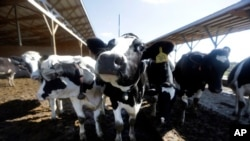 FILE Photo Oct 16, 2013 - The use of antibiotics in livestock helps the animals stay healthy and grow faster, but bacteria develop resistance to the drugs, and those resistant bacteria can spread to people.