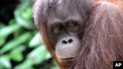 An Orangutan on north east Borneo, not far from the Maliau Basin, which will soon be nominated as a World Heritage Site