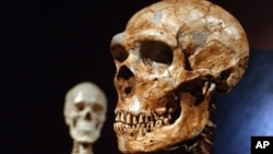 A reconstructed Neanderthal skull, right, and a modern human version at the Museum of Natural History in New York