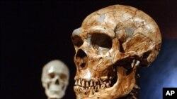 Rekonstruksi tengkorak dari manusia Neanderthal yang berasal dari 430 ribu tahun lalu (foto: dok).