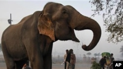 ہاتھیوں کی تعداد میں مسلسل کمی