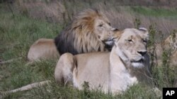 Researchers warn that the king of the animals - the lion is rapidly losing its habitate in the savannahs of Africa.